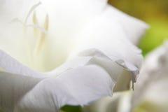 De bloem van gladiolen Stock Foto's