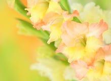 De bloem van gladiolen op kleurrijke achtergrond Stock Afbeelding