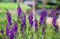 De bloem van Goyazensis Benenth van Angelonia Stock Foto
