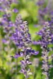 De bloem van Goyazensis Benenth van Angelonia Stock Afbeelding