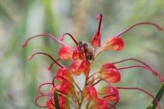 De bloem van Grevillea stock afbeeldingen