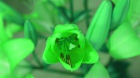 De bloem van de groene installatielelie bloeien, die zijn bloesem opent Epische tijdtijdspanne Prachtige aard Futuristische Werel stock footage
