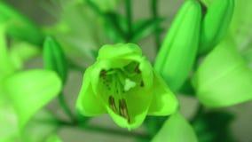 De bloem van de groene installatielelie bloeien, die zijn bloesem opent Epische tijdtijdspanne Prachtige aard Futuristische Werel stock videobeelden
