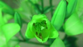 De bloem van de groene installatielelie bloeien, die zijn bloesem opent Epische tijdtijdspanne Prachtige aard Futuristische Werel stock video