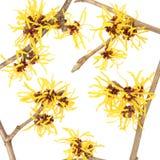 De bloem van Hamamelis Stock Afbeeldingen