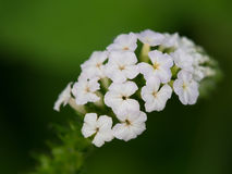 De bloem van Heliotropiumindicum Royalty-vrije Stock Foto