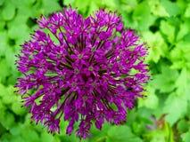 De bloem van het allium Stock Afbeeldingen