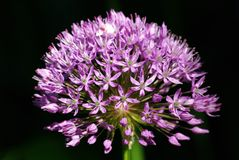 De bloem van het allium, Purpere sensatie Stock Fotografie