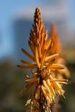 De bloem van het aloë Stock Foto