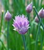 De bloem van het bieslook Royalty-vrije Stock Foto's