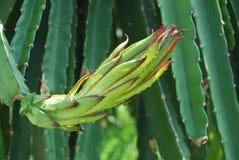 De Bloem van het Fruit van de draak Stock Foto's