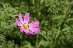 De bloem van het gebied Royalty-vrije Stock Foto's