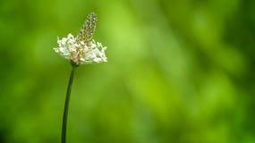 De bloem van het gebied Stock Afbeelding
