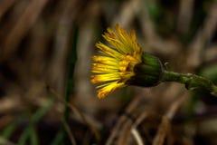 De bloem van het gebied Coltsfoot Stock Afbeelding