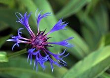 De bloem van het graan Royalty-vrije Stock Afbeeldingen