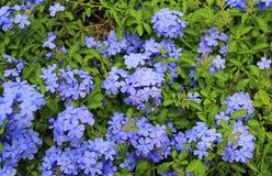 De bloem van het Grafietauriculata van de close-upkaap leadwort in de tuin royalty-vrije stock foto