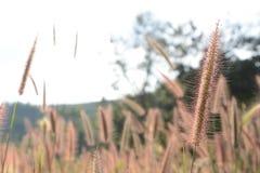 De bloem van het gras Royalty-vrije Stock Afbeeldingen