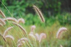 De bloem van het gras Stock Afbeelding