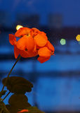 De bloem van het huis Stock Afbeeldingen