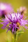 De bloem van het knoopkruid stock foto