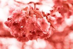 De bloem van het Sakurakoraal Levende Coral Colors Kleur van het jaar 2019 stock foto