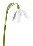 De bloem van het sneeuwklokje stock afbeeldingen