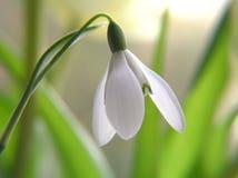 De bloem van het sneeuwklokje Royalty-vrije Stock Afbeeldingen