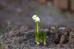 De bloem van het sneeuwklokje Stock Foto's