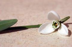 De bloem van het sneeuwklokje royalty-vrije stock foto's
