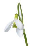 De bloem van het sneeuwklokje die op wit wordt geïsoleerdl Stock Afbeeldingen