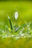 De bloem van het Sparklysneeuwklokje, zeer zachte uiterst kleine nadruk, perfectioneert voor gift Royalty-vrije Stock Fotografie