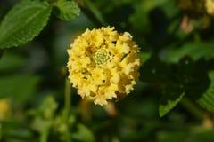 De bloem van het struikijzerkruid royalty-vrije stock foto