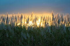 De bloem van het suikerriet Royalty-vrije Stock Foto