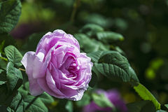 De bloem van het tot bloei komen nam in het zonlicht op een vage backgro toe Royalty-vrije Stock Afbeelding
