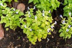 De bloem van het Tricolorviooltje Royalty-vrije Stock Afbeelding