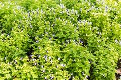 De bloem van het Tricolorviooltje Royalty-vrije Stock Afbeeldingen