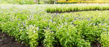 De bloem van het Tricolorviooltje Stock Fotografie