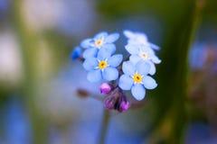 De bloem van het vergeet-mij-nietje royalty-vrije stock afbeeldingen