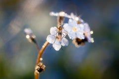 De bloem van het vergeet-mij-nietje stock afbeelding