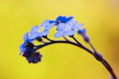 De bloem van het vergeet-mij-nietje stock foto's