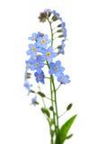 De bloem van het vergeet-mij-nietje op wit stock afbeelding