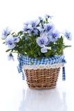 De bloem van het viooltje Royalty-vrije Stock Foto's