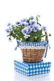 De bloem van het viooltje Stock Afbeeldingen