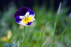 De bloem van het viooltje Stock Afbeelding