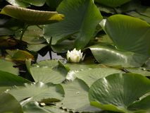 De bloem van het water Stock Afbeeldingen