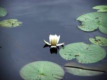 De bloem van het water Stock Afbeelding