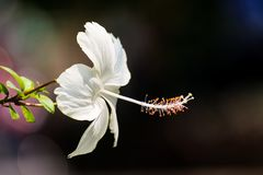 De bloem van de hibiscus Stock Foto's