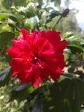 De bloem van de hibiscus stock fotografie
