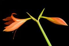 De bloem van Hippeastrum Stock Foto