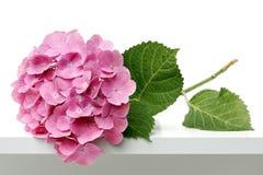 De bloem van Hortensia Stock Afbeeldingen